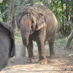 Słoń w Indiach
